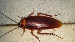cucaracha americana bilbao