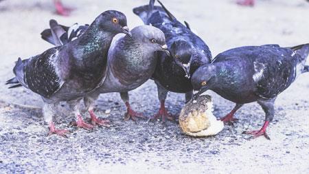 plagas palomas